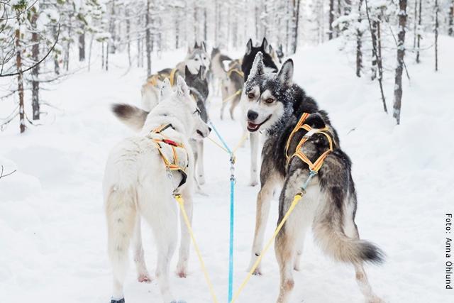 Husky Abenteuer Schweden