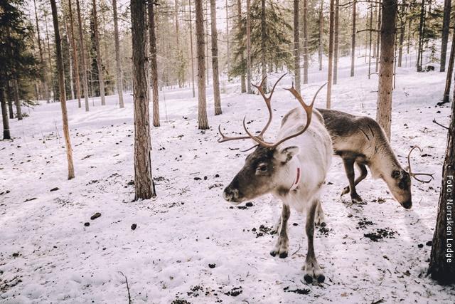 Winterreise Schwedens Norden - Rentier