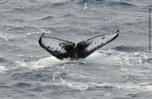 Antarktis Wale