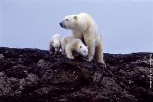 Arktisreisen Eisbaer
