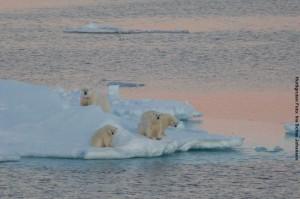 Arktisreisen Eisbaeren