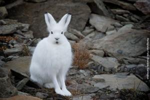 Artisreisen Groenland Schneehase