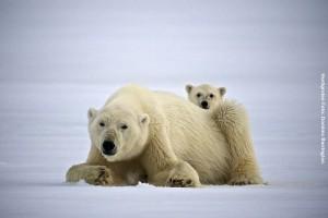 Eisbaeren-auf-Spitzbergen