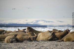 Spitsbergen-Reisen Walroesser