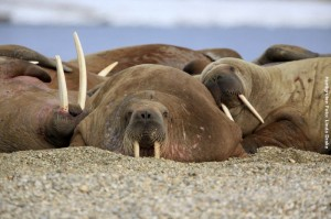 Spitsbergen-Reisen Walross