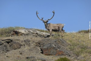 Groenland-Caribou
