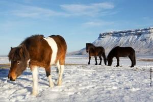 Island Pferde Winter