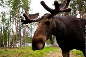 Schwedenreisen Elche