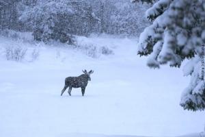 Lappland Elch-Safari