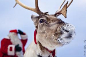Weihnachten in Lappland - Rentier