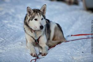 Norwegen Husky-Safari