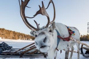 Lappland Rentierschlittenfahrt