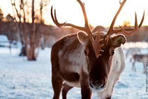 Rentier Safari Lappland NLV