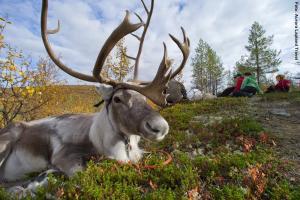 Lappland Rentiere Herbst