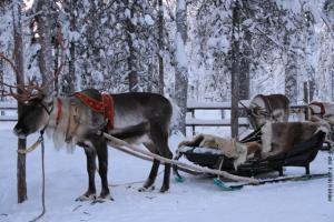 Weihnachten in Lappland - Rentiersafari