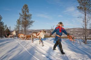 Rentiere Lapplandreise Utsjoki