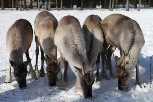 Rentiere in Lappland NLV