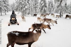 Schneehotel und Glasiglus Finnland - Rentiere treffen auf Schneemobil