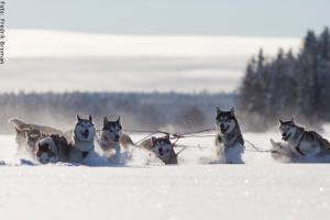 Husky Safari Schweden